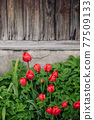 Red tulips growing in the garden near the barn. 77509133