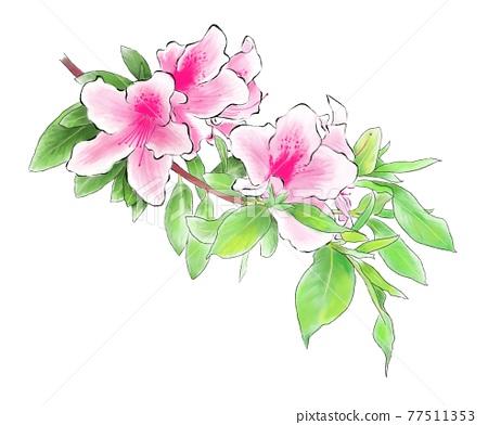 azalea, azaleas, rhododendron 77511353