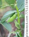 broad bean, faba bean, bean 77513789