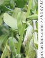 broad bean, faba bean, bean 77513792