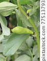 broad bean, faba bean, bean 77513793