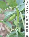 broad bean, faba bean, bean 77513797