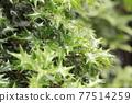 oleaceae (plant family), tender green, verdure 77514259
