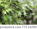 oleaceae (plant family), jagged, notched 77514260