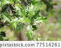 oleaceae (plant family), tender green, verdure 77514261