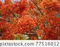 Red Caesalpinia pulcherrima in summer season in the garden 77516012