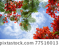 Red Caesalpinia pulcherrima in summer season in the garden and blurred sky background image. 77516013