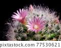 close up pink flower of mammillaria boscana cactus 77530621