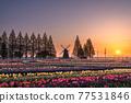 tulipa, dawn, chiba 77531846