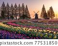tulipa, dawn, chiba 77531850