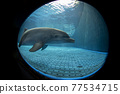 aquarium dolphin underwater looking at you 77534715
