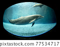 aquarium dolphin underwater looking at you 77534717