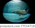 aquarium dolphin underwater looking at you 77534718