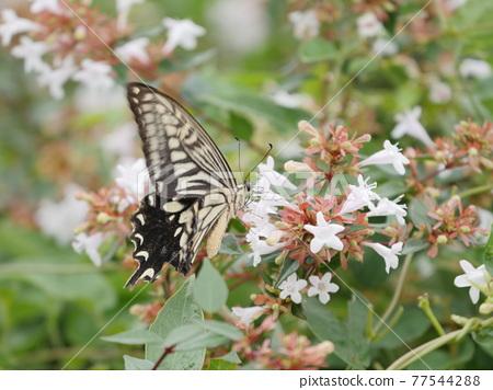 Swallowtail butterfly 77544288