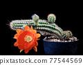 orange flower of echinopsis cactus blooming 77544569