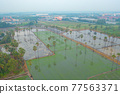 Aerial view of Dong Tan trees in green rice field in national park at sunset in Sam Khok district in rural area, Pathum Thani, Thailand. Nature landscape tourist attraction in travel trip concept. 77563371