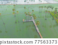 Aerial view of Dong Tan trees in green rice field in national park at sunset in Sam Khok district in rural area, Pathum Thani, Thailand. Nature landscape tourist attraction in travel trip concept. 77563373