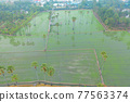 Aerial view of Dong Tan trees in green rice field in national park at sunset in Sam Khok district in rural area, Pathum Thani, Thailand. Nature landscape tourist attraction in travel trip concept. 77563374