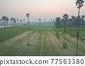 Aerial view of Dong Tan trees in green rice field in national park at sunset in Sam Khok district in rural area, Pathum Thani, Thailand. Nature landscape tourist attraction in travel trip concept. 77563380