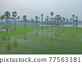 Aerial view of Dong Tan trees in green rice field in national park at sunset in Sam Khok district in rural area, Pathum Thani, Thailand. Nature landscape tourist attraction in travel trip concept. 77563381