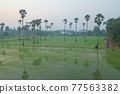 Aerial view of Dong Tan trees in green rice field in national park at sunset in Sam Khok district in rural area, Pathum Thani, Thailand. Nature landscape tourist attraction in travel trip concept. 77563382