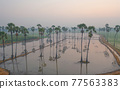 Aerial view of Dong Tan trees in green rice field in national park at sunset in Sam Khok district in rural area, Pathum Thani, Thailand. Nature landscape tourist attraction in travel trip concept. 77563383