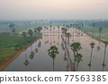 Aerial view of Dong Tan trees in green rice field in national park at sunset in Sam Khok district in rural area, Pathum Thani, Thailand. Nature landscape tourist attraction in travel trip concept. 77563385