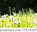 bloom, blossom, blossoms 77573187