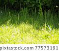 grass, grasses, the grass 77573191