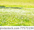 bloom, blossom, blossoms 77573194