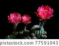 close up red flower of lobivia cactus against dark background 77591043