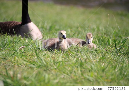 Canada goose chick brothers 77592181