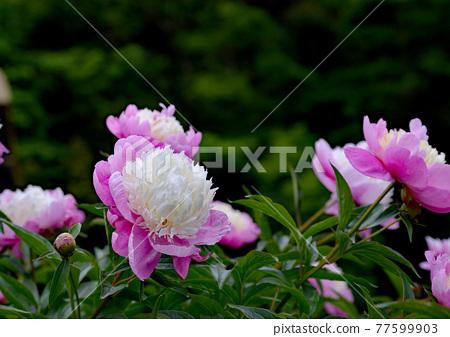 Gorgeous and elegant peony flowers 77599903