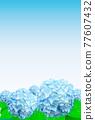 hydrangea, bloom, blossom 77607432