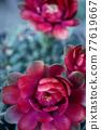 close up red flower of gymnocalycium baldianum cactus 77619667