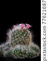 close up pink flower of mammillaria cactus 77621687