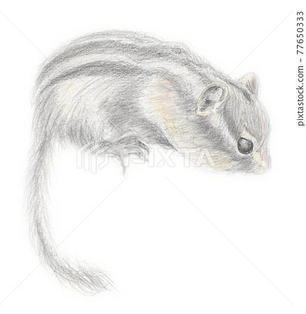 Chipmunk pencil drawing 77650333