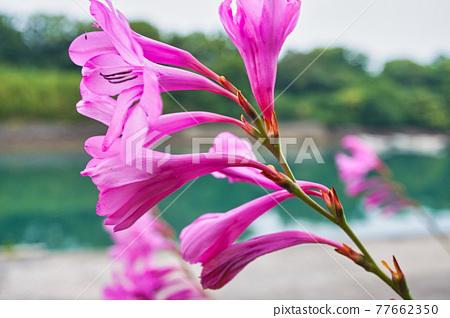 single flower, single wheel, pink 77662350