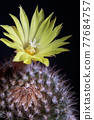 close up yellow flower of mammillaria cactus 77684757