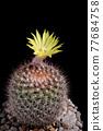 yellow flower of mammillaria cactus blooming 77684758