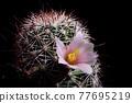 pink flower of mammillaria cactus 77695219