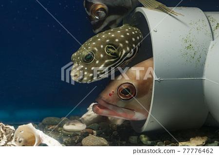 White-spotted puffer fish Fugu Akahata grouper 77776462
