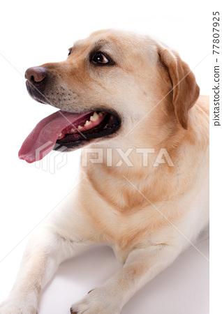 Young labrador retriever, studio portrait. 77807925