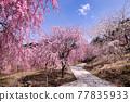 벚꽃, 봄, 꽃 77835933
