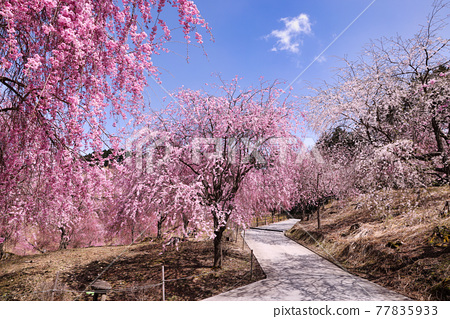 Weeping cherry blossoms in full bloom in Takami no Sato 77835933
