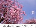벚꽃, 수양벚꽃, 수양벚나무 77836213
