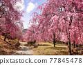 벚꽃, 수양벚꽃, 수양벚나무 77845478