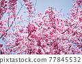 벚꽃, 수양벚꽃, 수양벚나무 77845532