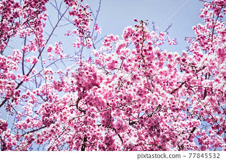 A close-up shot of the weeping cherry blossoms in full bloom in Takami no Sato 77845532