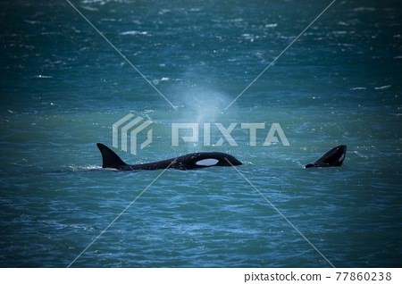 Orca Family, Patagonia Argentina 77860238